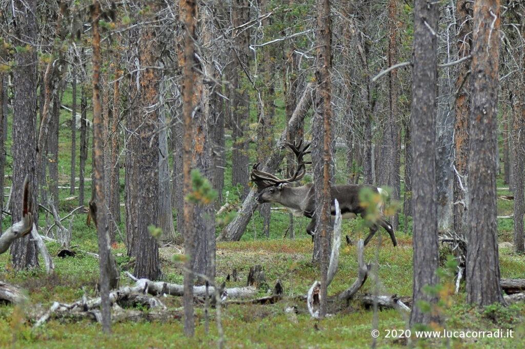 Un esemplare di renna maschio nel Parco Nazinale di Lemmenjoki, FI.